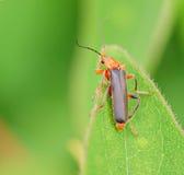 Small beetle macro little bug Royalty Free Stock Images