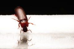 Small beetle macro little bug Royalty Free Stock Photos
