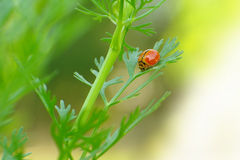 A small beetle (Micraspis discolor) on coriander leaf Stock Photo