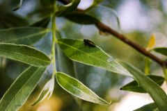 A small beetle sitting on the leaf of the willow stock photos