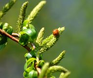 Small beetle in the tree royalty free stock photography