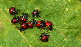 Small beetles. Together on vegetable leaf Royalty Free Stock Photography