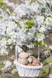 Small beige  easter eggs in a basket  hanging on the branches of a blooming cherry tree Royalty Free Stock Photography