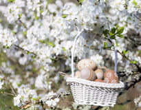 Small beige  easter eggs in a basket  hanging on the branches of a blooming cherry tree Royalty Free Stock Photo