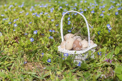 Small beige  easter eggs  in a white basket Royalty Free Stock Images