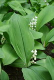 Small bell shaped Convallaria  flowers among green leaves Royalty Free Stock Photo