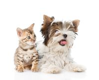 Small bengal cat and Biewer-Yorkshire terrier dog together. isolated. On white background stock images