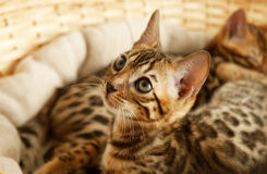 Small bengal kitten Stock Images