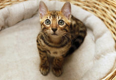 Small bengal kitten Stock Photography