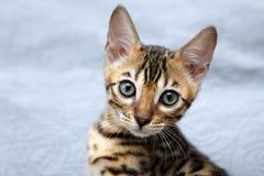 Small bengal kitten Stock Photos