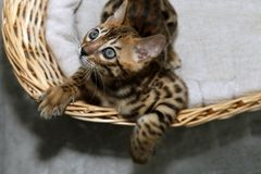 Small bengal kitten royalty free stock photography