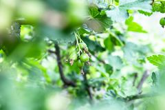 Small berries of green currant on the branch. Selective focus royalty free stock photos