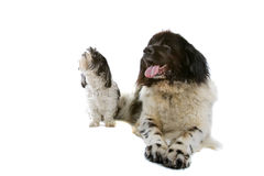 Small and big dog Stock Photography