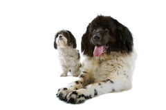 Small and big dog Stock Photos