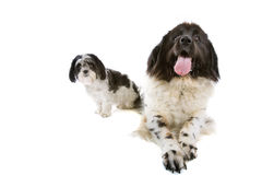 Small and big dog Royalty Free Stock Photo