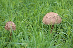 Small and big fruit body of parasol mushroom (Macrolepiota procera) in grass.  Royalty Free Stock Photo