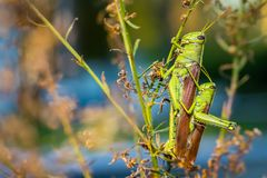 Small and Big Mating Grasshoppers Stock Image