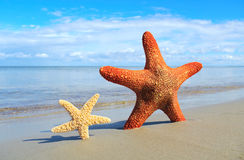 Small and  big starfish. Royalty Free Stock Photo
