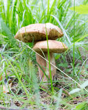 Small and big white boletus mushroom with white cap grows in forest. Vegetarian raw food.  Stock Photo