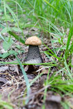 Small and big white boletus mushroom with white cap grows in forest. Vegetarian raw food.  Stock Photography