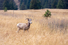 Small bighorn sheep in grass. Royalty Free Stock Photos