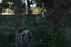 Small billy goats climbing a tree. Some goats being used to control the spread of tall weed. They were climbing in the trees instead royalty free stock photography