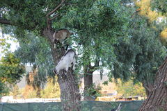 Small billy goats climbing a tree Royalty Free Stock Photos