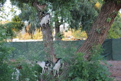 Small billy goats climbing a tree. Some goats being used to control the spread of tall weed. They were climbing in the trees instead stock photo