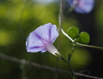 Small bindweed Royalty Free Stock Photography
