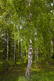 Small birch grove Royalty Free Stock Images