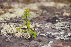 Small birch living on a rock Royalty Free Stock Photography
