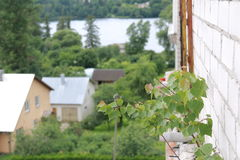 A small birch persistently growing in the concrete construction of a balcon Stock Photography