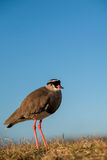 Small bird Royalty Free Stock Image
