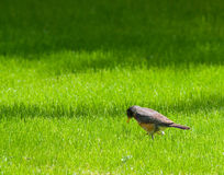 Small Bird Royalty Free Stock Photos