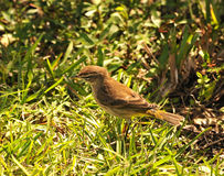 Small bird Royalty Free Stock Images