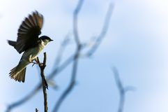 Small bird. Against blue sky sitting on a twig Stock Photography