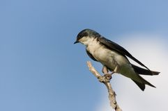 Small bird against blue sky. Sitting on a twig royalty free stock photos