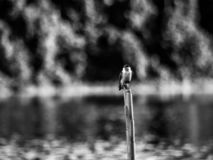 Small bird in the Amazonas, in Bolivia. A small bird in the amazonas jungle in Bolivia, black and White photo stock photo