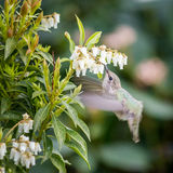 Small bird Bee-Hummingbird. Bee-Hummingbird small bird near the flowers eating nectar.  Wings with Motion Blur Stock Images