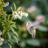 Small bird Bee-Hummingbird. Bee-Hummingbird small bird near the flowers eating nectar.  Wings with Motion Blur Royalty Free Stock Photos