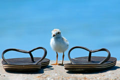 Piping Plover Chick stock image