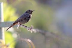 Small bird of black redstart Royalty Free Stock Photo