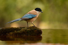 Small bird with blue tail on a stone in the middle of the lake Stock Photos