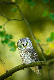 Small bird Boreal owl, Aegolius funereus, sitting on branch with clear green forest background, animal in the nature habitat, Russ Stock Photography