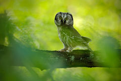 Small bird Boreal owl, Aegolius funereus, sitting on branch with clear green forest background, animal in the nature habitat, Swed Royalty Free Stock Images