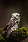 Small bird Boreal owl, Aegolius funereus, sitting on larch tree trunk with clear dark forest background, in the nature habitat, Sw Royalty Free Stock Image