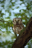 Small bird Boreal owl, Aegolius funereus, sitting on the tree branch in nece green forest background. Small bird Boreal owl, Aegolius funereus, sitting on the Royalty Free Stock Photo