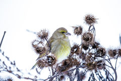 Small bird on a branch in winter. Beautiful small bird sitting on a branch in winter royalty free stock photos