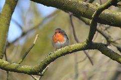 Robin bird photographed on a tree in the UK Royalty Free Stock Photo