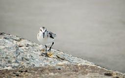 curious sandpiper bird Stock Photo
